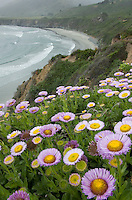 Groups of asters growing on a bluff overlooking the rugged coast of Big Sur california