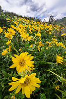 Yellow Balsamroot wildflowers bloom on the hills of the Wasatch Mountains in Spring.