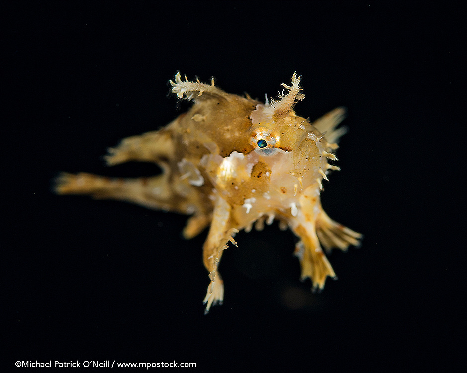 A Sargassum Frogfish or Anglerfish, Histrio histrio, drifts in the open sea near the surface offshore Palm Beach, Florida, United States.