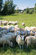 Flock of sheep on grazing pasture in the Cotswolds, Oxfordshire, Southern England, UK