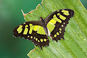 Malachite Butterfly, Siproeta stelenes, South America, wings open, green and brown colour