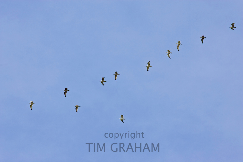 Flock of Gulls fly over Bourton-on-the-Water, Gloucestershire, United Kingdom