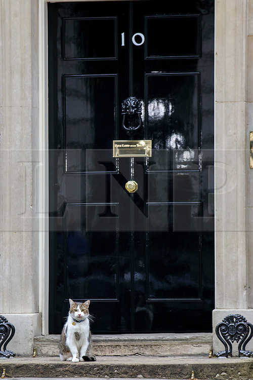 © Licensed to London News Pictures. 15/11/2016. London, UK. Larry the Downing Street cat waits outside whilst a cabinet meeting takes place in Downing Street on Tuesday, 15 November 2016. Photo credit: Tolga Akmen/LNP