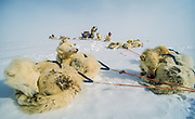 Husky dogs rest during crossing Greenland icecap, three teams of dogs, five skiers, Greenland Arctic