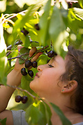 Young girl admires a a bunch of cherries on a tree. Model release available