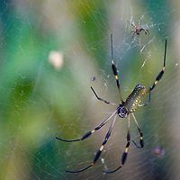 The female golden orb web spider can be up to 100 times larger then the male, like these two in Manzanillo National Park in Costa Rica on April 5, 2009.  The spiders webs are extremely large and strong, and can even trap small birds.  (Photo/Billy Byrne Drumm)
