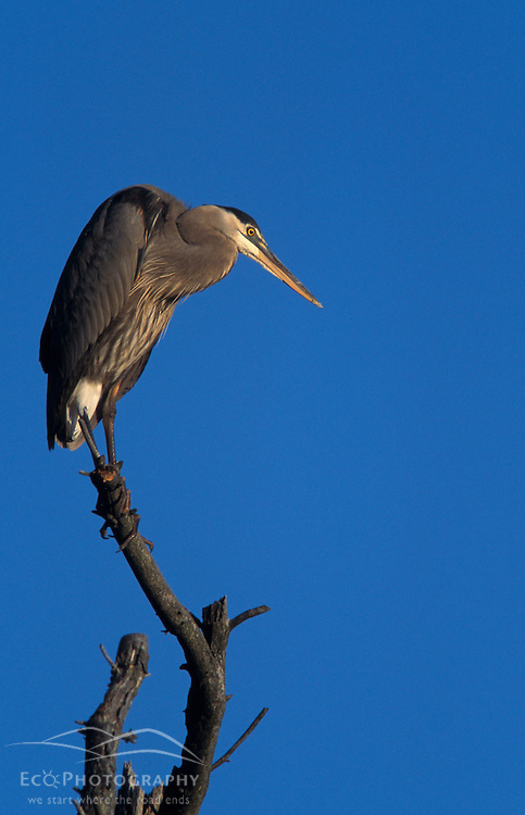 Durham, NH.  A Great Blue Heron, Ardea herodias, in a rookery on the Nature Conservancy's Lubberland Creek Preserve near Great Bay in Durham, NH.