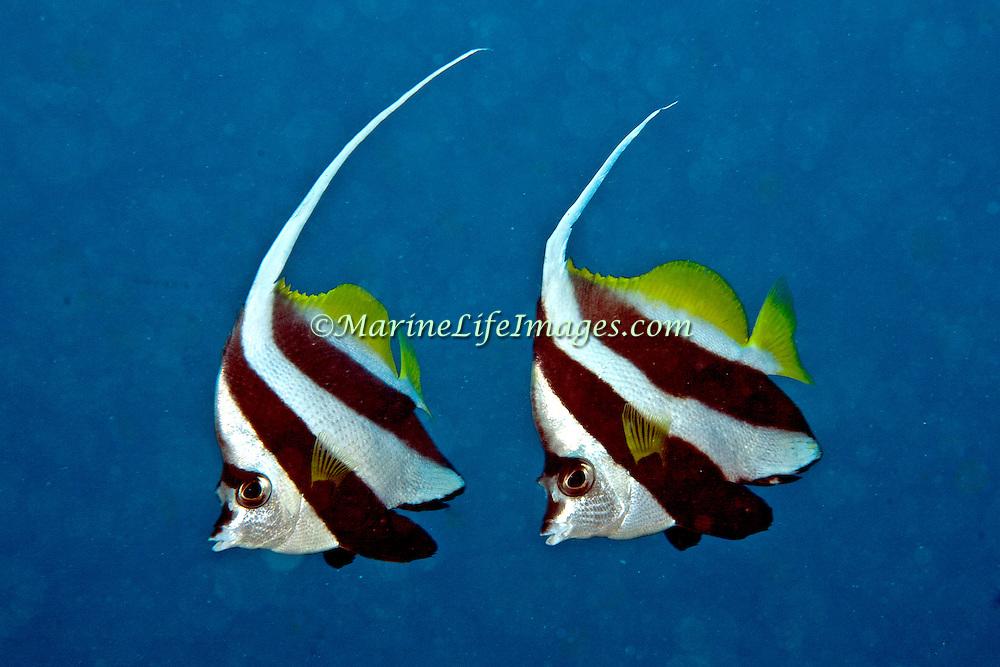 Longfin Bannerfish inhabit reefs and open water near reefs, often in pairs. Picture taken PNG.