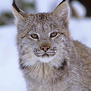 Canada Lynx, (Lynx canadensis) Montana. Portrait of sub adult in snow. Winter. Captive Animal.