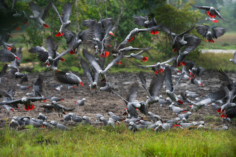 Congo African Grey Parrot (Psittacus erithacus erithacus) on mineral lick<br /> Lango Bai<br /> Republic of Congo (Congo - Brazzaville)<br /> AFRICA<br /> CITES: appendix II<br /> IUCN: Vulnerable<br /> HABITAT & RANGE: Primary & secondary rain forests. Islands of Príncipe and Bioko, Ivory Coast to western Kenya, northwest Tanzania, southern Democratic Republic of the Congo (DRC), and northern Angola.