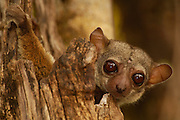 Milne-Edward's sportive lemur (Lepilemur edwardsi) Ankarafantsika Nature Reserve, deciduous dry forest, Western MADAGASCAR, endemic