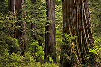 redwoods in Redwoods National Park California