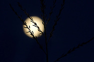 Middletown, New York  - The full moon rises behind the tassel of a corn plant on Sept. 18, 2013. ©Tom Bushey / The Image Works
