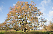 Quercus robur English oak tree in winter standing in field with the last of its leaves, Sutton, Suffolk, England