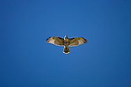 © 2007 Randy Vanderveen, all rights reserved.Grande Cache, Alberta.A red-tailed hawk soars in the blue Alberta sky.