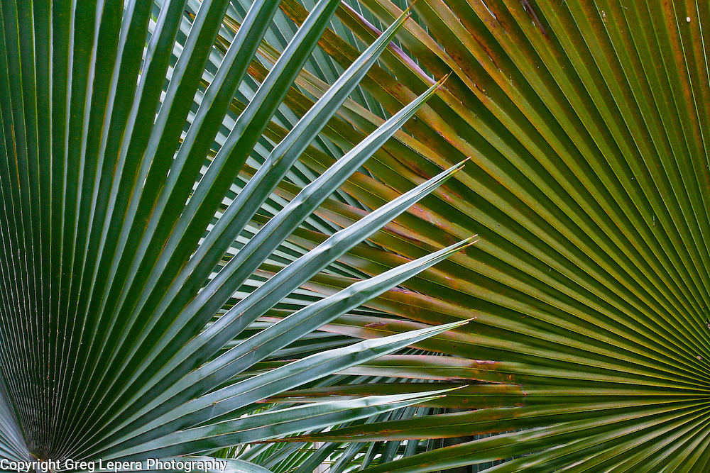 Crossed Palm Fronds, Fairchild Tropical Gardens