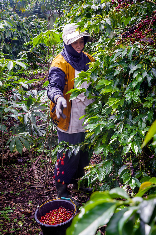 Hajiah (47), the wife of Pak Sugianto, picks coffee cherries.  Pak Sugianto has been a member of Permato Gayo since 2009.  His earnings have increased since joining.  The biggest challenge as a coffee farmer is the stability of price.  As a part of the co-op he received help such as farm equipments to cut grass, basic supplies such as rice and cooking oil, and updated farm training.  To him Fair Trade  means everyone wins, the quality of the coffee is excellent and dependable and it's organically certified.