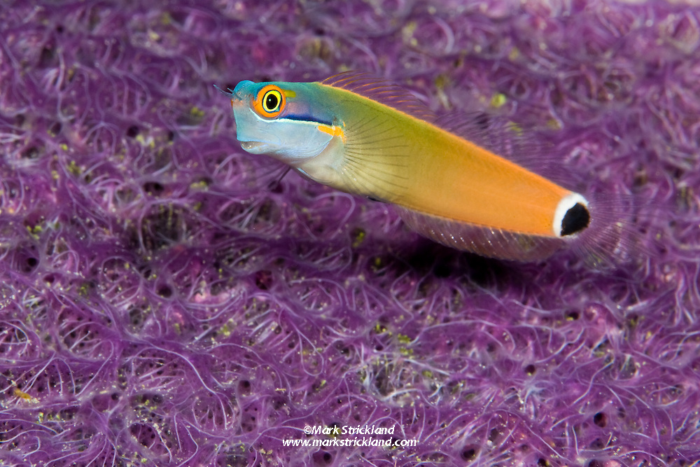 A Tailspot Blenny, Ecsenius stigmatura, hovers over a colorful colony of encrusting sponge. Raja Ampat, West Papua, Indonesia, Pacific Ocean
