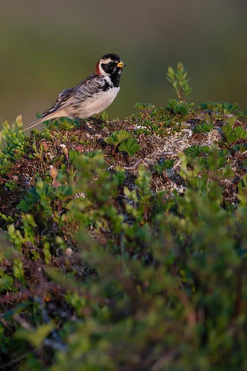 Lapland bunting or longspur, Calcarius lapponicus  Flatruet, Ljungdalsfjällen, Härjedalen, Sweden