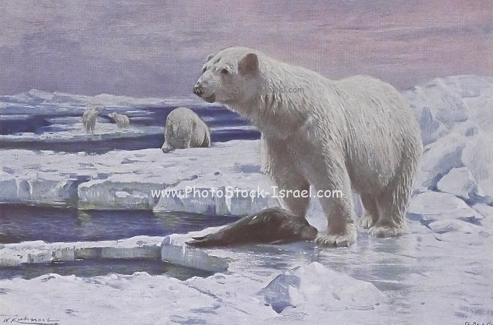 The polar bear (Ursus maritimus) is a hypercarnivorous bear whose native range lies largely within the Arctic Circle, encompassing the Arctic Ocean, its surrounding seas and surrounding land masses. It is the largest extant bear species, as well as the largest extant land carnivore from the book '  Animal portraiture ' by Richard Lydekker, and illustrated by Wilhelm Kuhnert, Published in London by Frederick Warne & Co. in 1912
