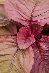 Young baby leaves of Red amaranth, Amaranthus