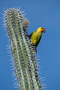 Caribbean Parakeet or Brown-throated Parakeet (Aratinga pertinax xanthogenia)<br /> BONAIRE, Netherlands Antilles, Caribbean<br /> HABITAT & DISTRIBUTION: Woodland, Savannah and Scrub<br /> Netherlands Antilles, Caribbean