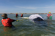 The International Fund for Animal Welfare (IFAW)'s marine mammal rescue team prepares to rescue a stranded juvenile humpback whale off of Chatham, Massachusetts, on Saturday. The team worked with the Chatham harbormaster to attempt to tow the whale out of shallow water as the tide quickly came in.  Initial rescue efforts were unsuccessful. The team will continue efforts on Sunday.  The general public is reminded to stay back from the whale and avoid flying drones in the area, for the safety of the whale and responders.  Thank you to the Chatham Harbormaster, Harwich Harbormaster, and Coast Guard Chatham for their support and efforts today. Julia Cumes/IFAW