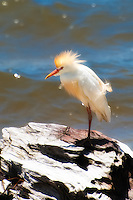 A stunning male cattle egret in full breeding plumage ruffles its feathers on the water's edge in Carrabelle, Florida.