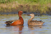 Stock photo of cinnamon teal captured in Colorado.  The male cinnamon teal, unlike most male ducks, will stay with the female through most of the incubation process.