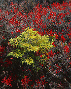 Autumn leaves of black huckleberry, Gaylussacia baccata, among a young red spruce, Picea rubens, Cadillac Mountain, Mount Desert Island, Acadia National Park, Maine.