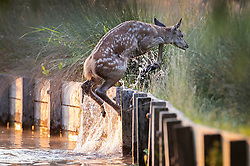 © Licensed to London News Pictures. 24/06/2020. London, UK. A young deer leaps from a stream at first light in Bushy Park, south west London. High temperatures and sunshine are expected in most of the UK over the next few days. Photo credit: Peter Macdiarmid/LNP