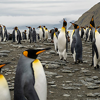 King penguins throw back their heads to vocalize in a massive breeding colony at Gold Harbour on South Georgia Island.