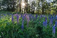 Bigleaf Lupines (Lupinus polyphyllus) flowering in the spring at Elgin Heritage Park in Surrey, British Columbia, Canada.