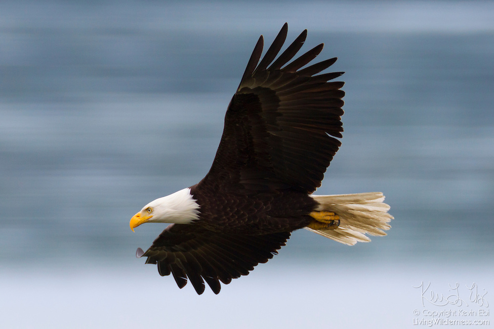 A bald eagle (Haliaeetus leucocephalus) flies over Hood Canal on the Olympic Peninsula of Washington state in search of food. Hundreds of bald eagles congregate along the water near Seabeck in the early summer to feast on migrating midshipman fish that get trapped in oyster beds during low tides.