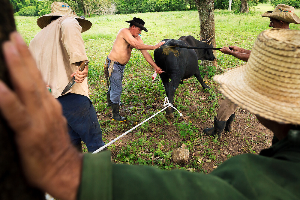 Pedro Blanco Márquez, center, castrates a bull with the help of neighboring farmers in the Pinar del Río province of Cuba. (David Albers/Staff)