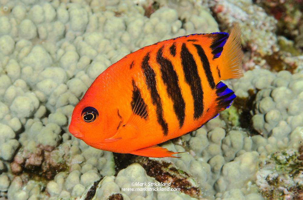 Flame Angelfish, Centropyge loricula, Solomon Islands, Pacific Ocean