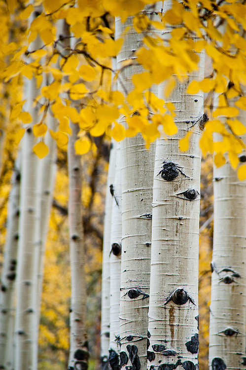 A stand of aspen trees in autumn, Rocky Mountain National Park.