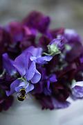 Lathyrus odoratus 'Chiltern Seeds Twilight Mixed' - sweet pea