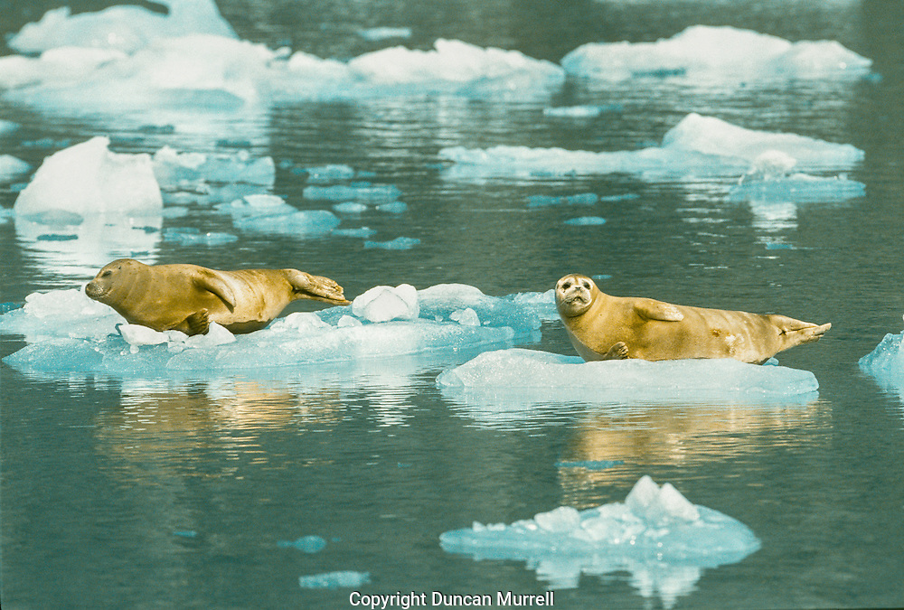 Harbor seals show variable movement patterns depending on their sex and age class, with some exhibiting considerable localized travel but noseasonalpatterns,whileothersshowmoreextendedmovements,particularlyduringthewinter. Seasonaluseofglacialfjords,wheremanyfemalesaggregateto give birth on icebergs in the summer, is common. Satellite tagging studies have shown that pups may range up to 232 miles (374 km) from their birth site, although most movements are less than 62 miles (100km) away. Juvenile seals can make more extensive movements of up to 186-310 miles (300-500 km) away from their tagging location; however, most remain within 100km. Adult seals typically make shorter movements and on average are within 37 miles (60km) of their tagging site. More recent tagging of seals that occupy glacial fiords has revealed movements of seals from one glacial fiord to another as well as one extensive movement of a juvenile female seal from Glacier Bay in southeastern Alaska to Prince William Sound, an estimated straight-line distance of ~ 520 miles (830 km). As more seals are being satellite-tagged, much more information is becoming available about winter and summer movements.