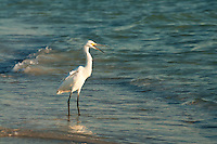 A beautiful snowy egret prowls the surf during the golden hour of a South Lido Beach, Florida late afternoon.