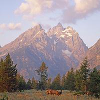 Elk graze below the Grand Teton and Mount Teewinot.