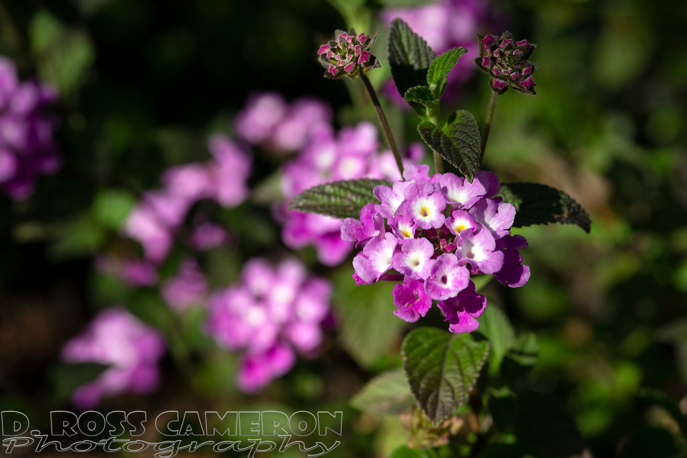 Lantana blooms in an Oakland, Calif. garden, Friday, April 12, 2019. (Photo by D. Ross Cameron)