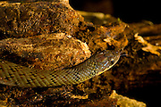 Sao Jose do Rio Preto_SP, Brasil...Programa Biota da Unesp, na foto uma cobra...The Biota program of Unesp, In this photo a snake.. .FOTO: JOAO MARCOS ROSA / NITRO