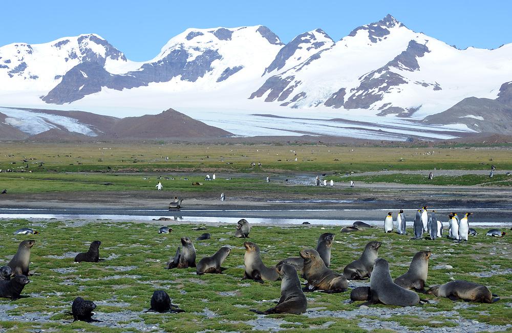 King penguins (Aptenodytes patagonicus) and Antarctic fur seals (Arctocephalus gazella)  on Salisbury Plain near the King Penguin nesting colony. Salisbury Plain, South Georgia. 19Feb16