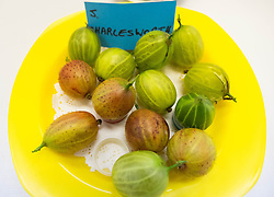 © Licensed to London News Pictures.04/08/15<br /> Egton, UK. <br /> <br /> <br /> A selection of gooseberries are displayed on a table after being weighed during the annual Egton Gooseberry Show. <br /> There are only two Gooseberry societies left in the country. One in Cheshire and one at Egton in North Yorkshire. The annual show in Egton uses traditional Avoridupois scales to measure the weight of the berries and members of the society are fanatical about trying to grow the best berries each year. <br /> <br /> Photo credit : Ian Forsyth/LNP