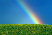 Rainbow and canola crop<br />Dugald<br />Manitoba<br />Canada