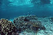 cornetfish, Fistularia commersonii, stalks prey by contouring itself to the shell of a hawksbill sea turtle, Eretmochelys imbricata, to  deceive its prey, Sipadan Island, Sabah, Malaysia ( Celebes Sea / Western Pacific Ocean )