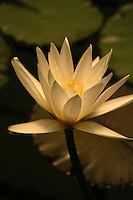 """Lotus Blossoms - Nelumbo is a genus of aquatic plants with large, showy, water lily-like flowers commonly known as lotus or sacred lotus.  They are also called water lillies. There are two species in the genus, the better known of which,  """"Sacred Lotus,"""" is the national flower of India and Vietnam."""