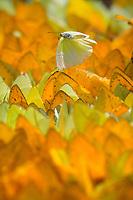 Sulphur butterflies, Phoebis sennae, in a dense puddle.