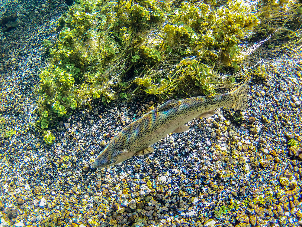 Rainbow trout in pure waters of Big Springs source of the Henrys Fork of the Snake River near Island Park in Eastern Idaho.  Licensing and Open Edition Prints.